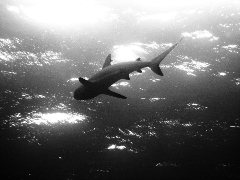 Bahamas Shark '08