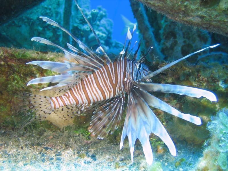 Bahamas Lion Fish '08