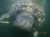 Manatee in Crystal River, FL.