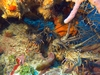 Lobster stampede (Roatan, February 2007) photo compliments of Bob Sutherland