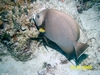 Grey Angelfish, Bahamas, Blackbeard Cruises 06`