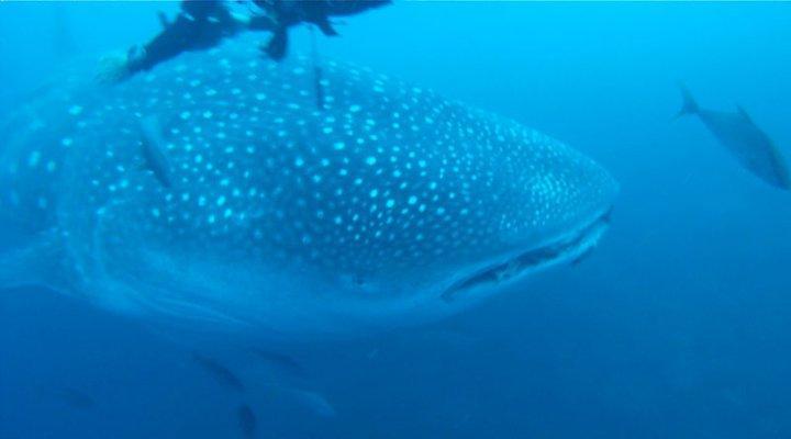whale shark Galapagos