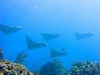 spotted eagle rays in the keys