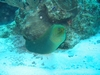Green Moray, Tackle Box Canyon, Ambergris Caye, BZ
