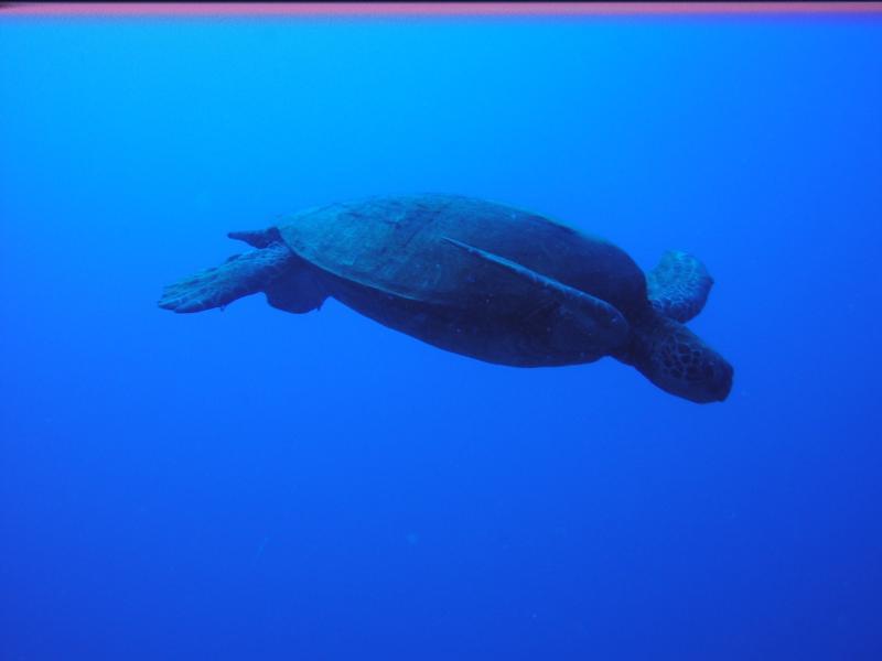 Sea Turtle, Honolulu HI