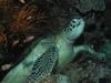 Turtle Borneo