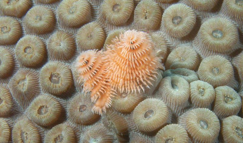 Christmas tree worms on coral head. Taken in the Dry Tortugas 7-10 by Bob Smyth