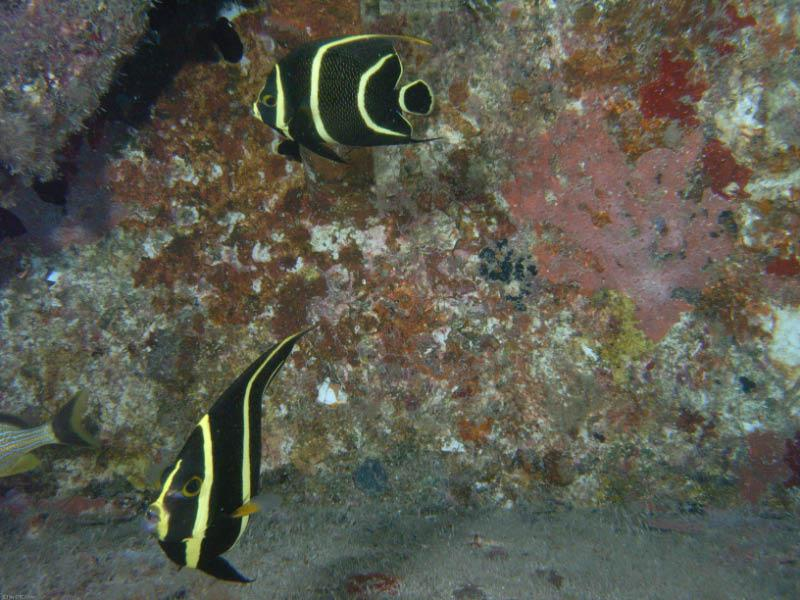 Pair of Juvenile french angel fish taken on the Vandenberg by Bob Smyth 7/10