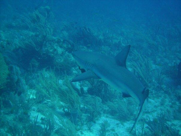 Black Tip in Key Largo
