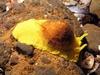 Tylodina fungina