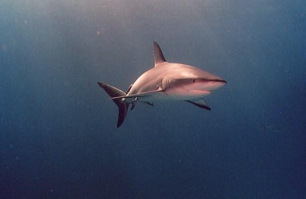 Shark below divers