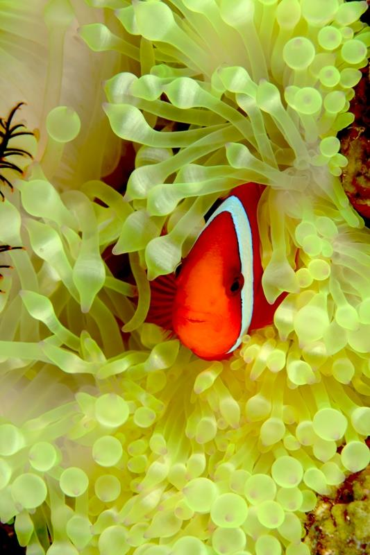at home in the anemone