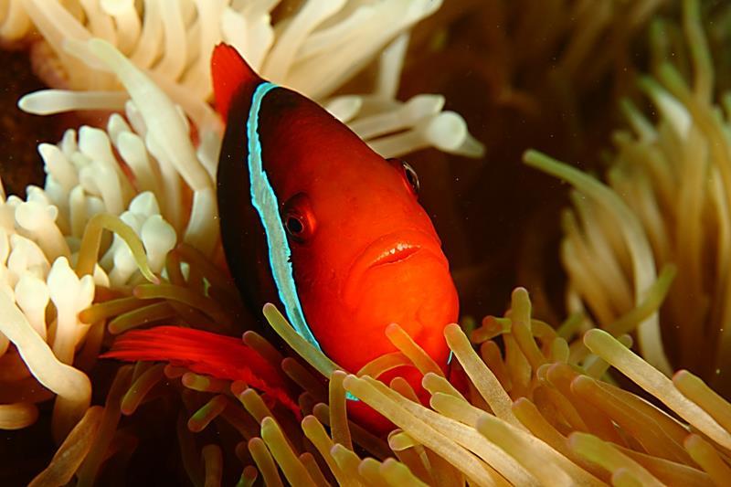 Tomato clownfish at home
