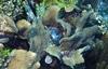 lavender crust algae