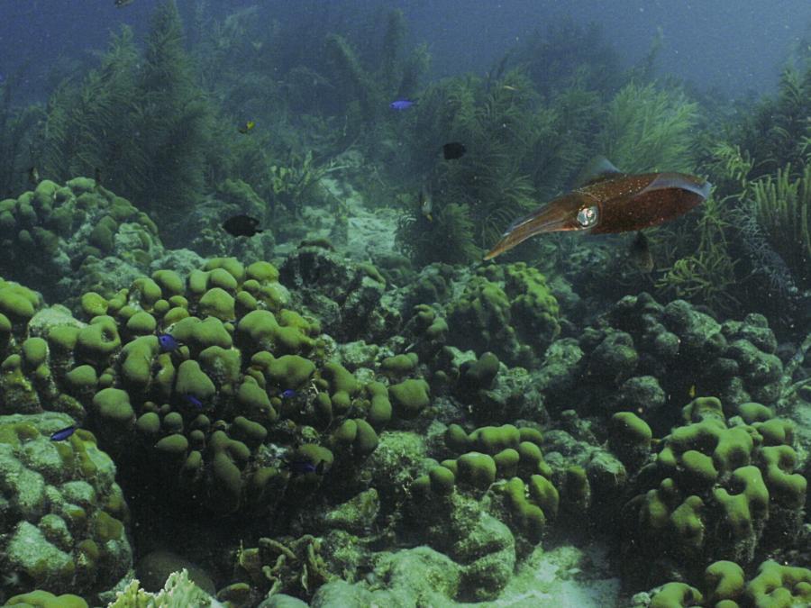 Reef Squid (Bonaire)