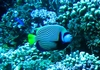 Emporer Angelfish