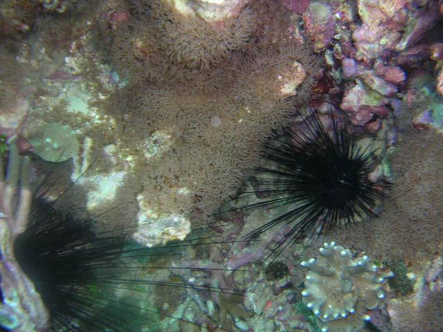 Urchins at safety stop Bohol Is Philippines