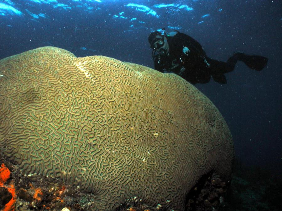 Steve & Boulder Brain Coral
