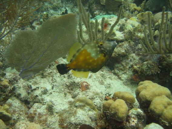 Whitespotted Filefish, Little Cayman