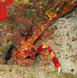 Red Banded Lobster - TCI