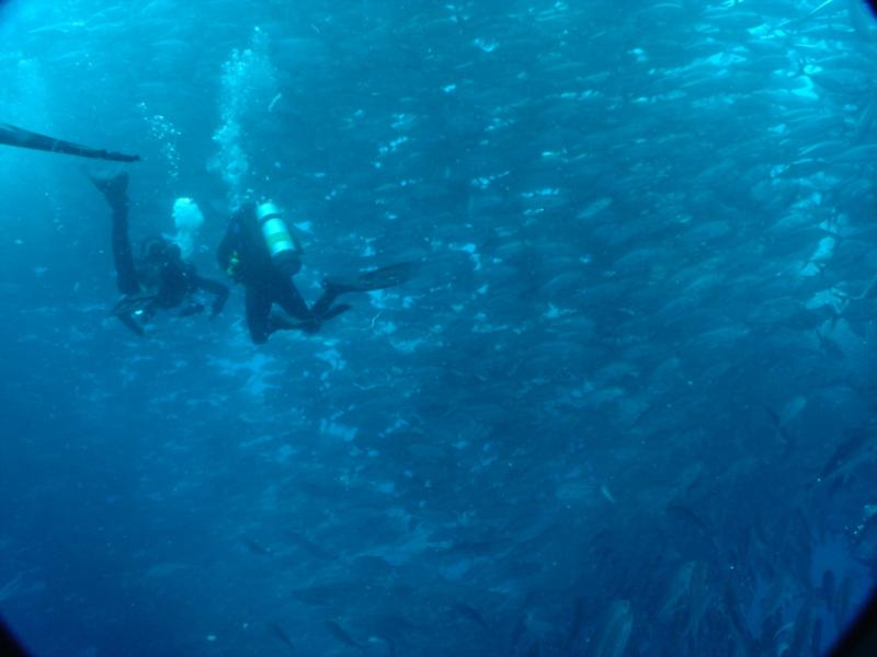 Swimming with hundreds (?) of Big Eye Jacks, Cocos
