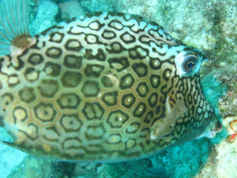 Honeycomb File Fish Bonaire