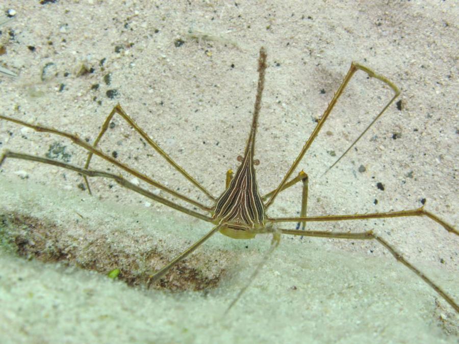 Arrow Crab - Grand Turk