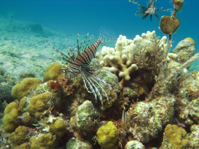 Snorkel pic of the beautiful pests