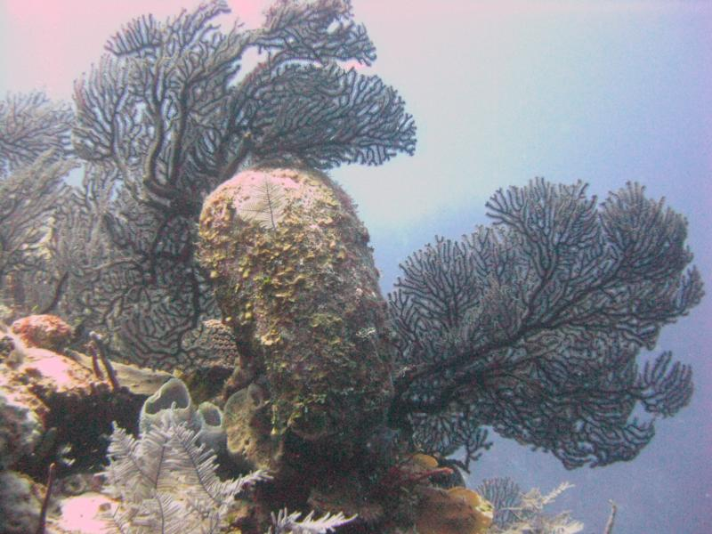 Black Coral on Black Forest at Grand Turk