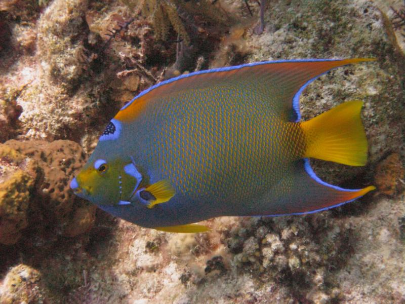 Queen Angel fish - Grand Turk