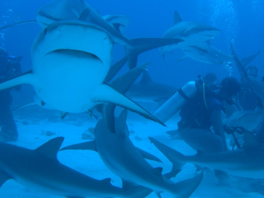 Shark Dive Bahamas