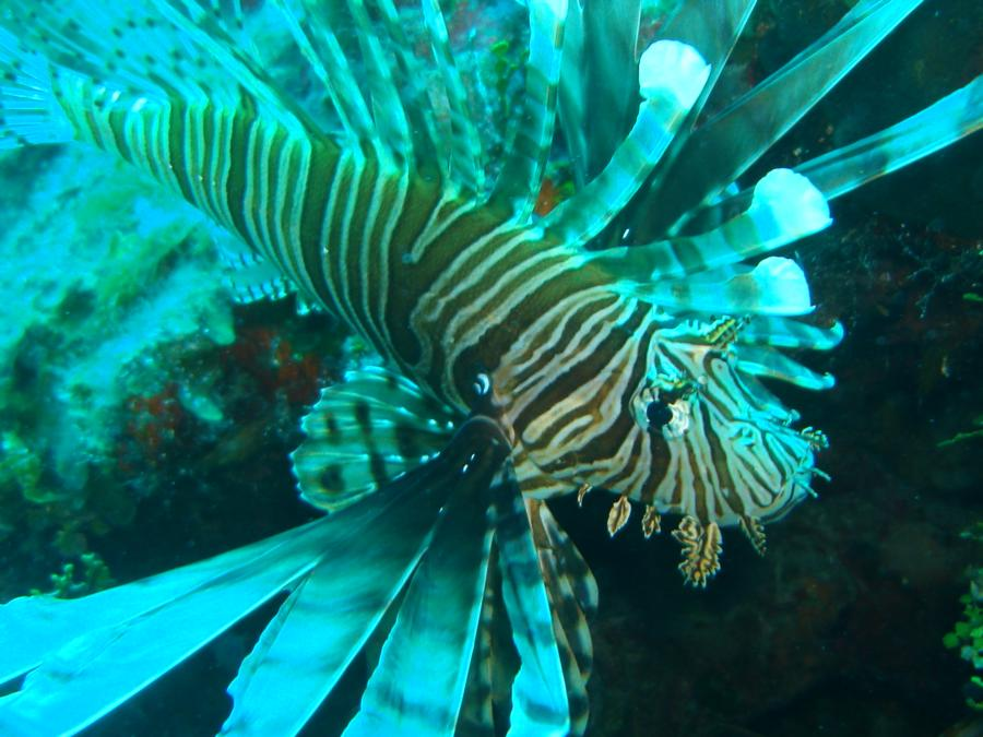 Lion Fish Bahamas