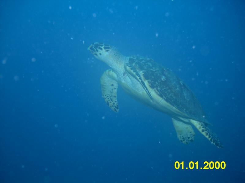 Decent turtle shot