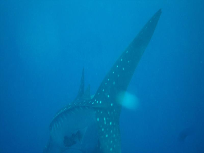 Whale Shark, The Lake, Bonaire 27 Jun 2011