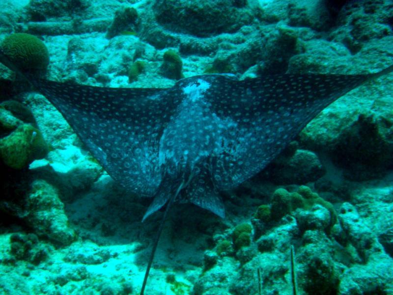 eagle ray at the Salt Pier (Bonaire)