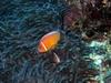 Clown fish in Fiji