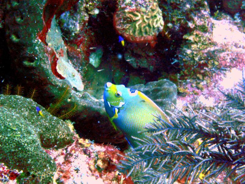 Turks & Caicos - Queen Angelfish