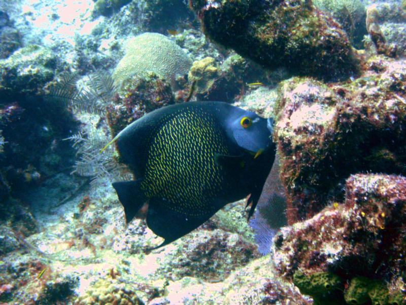 French Angelfish - Turks & Caicos