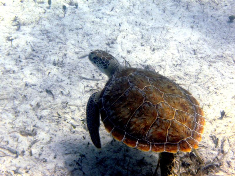 Turtle - Turks & Caicos