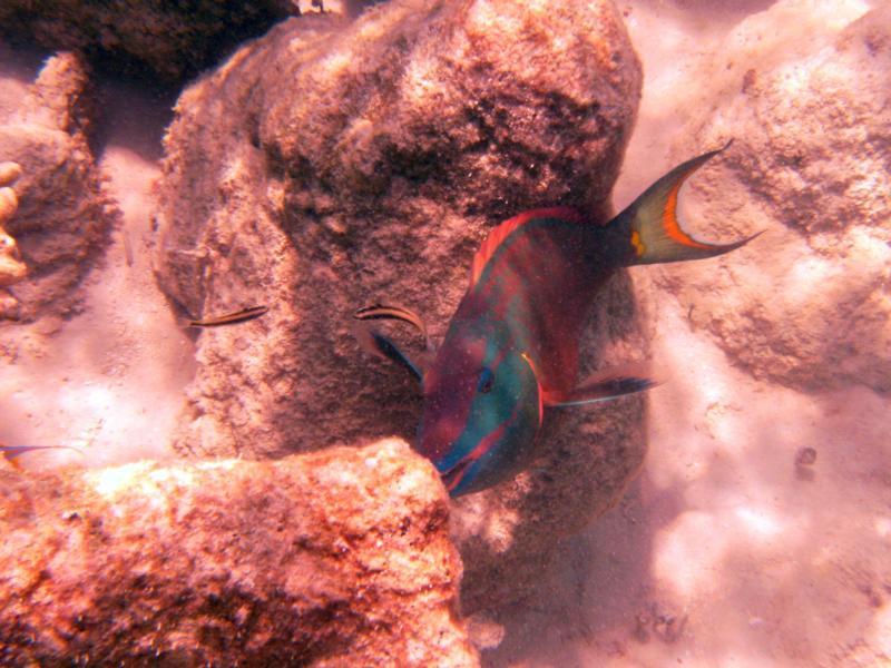 Parrotfish - Turks & Caicos