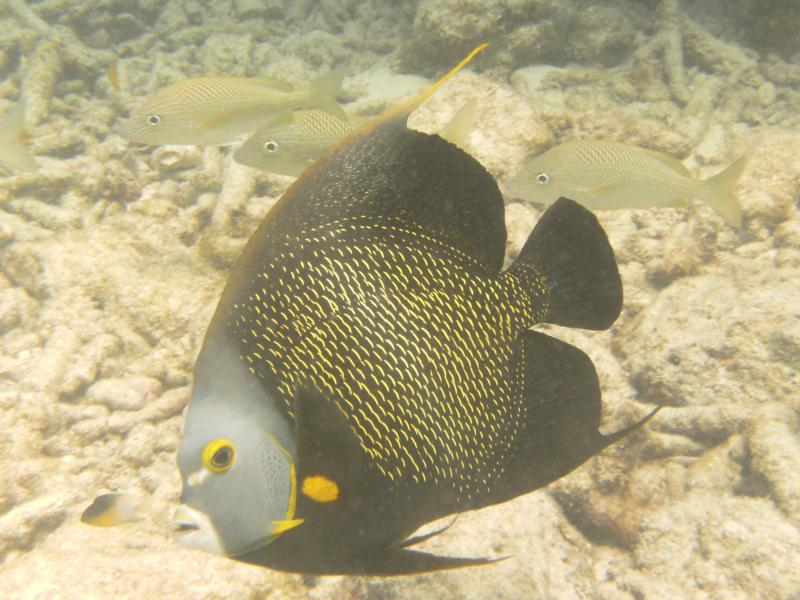 French Angelfish - Marathon Key, FL