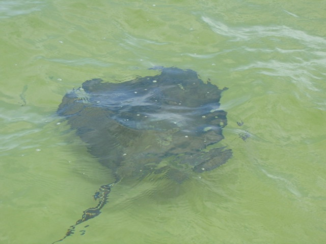 Southern Stingray, Grand Cayman, Stingray City