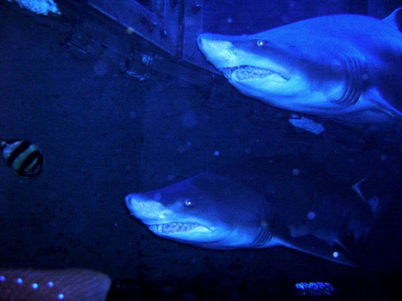 Sand Tigers - New England Aquarium