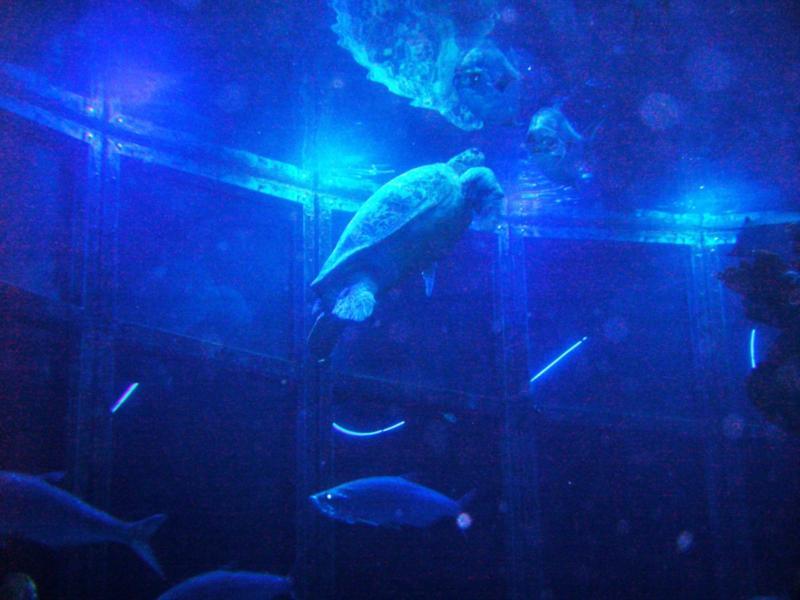 Myrtle the 500 Lbs Turtle - New England Aquarium