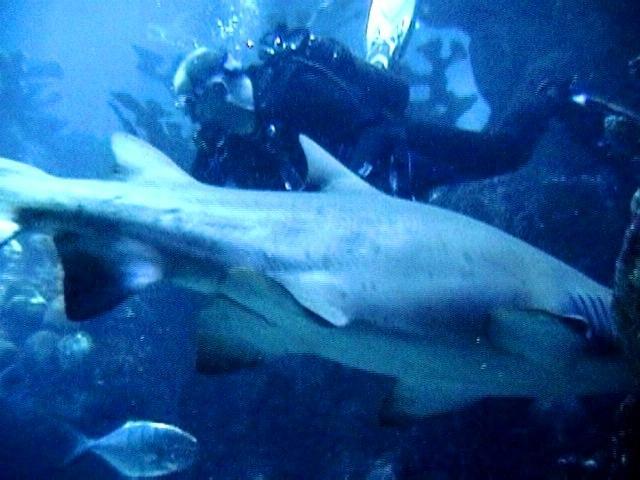 Sand Tiger & Me - New England Aquarium