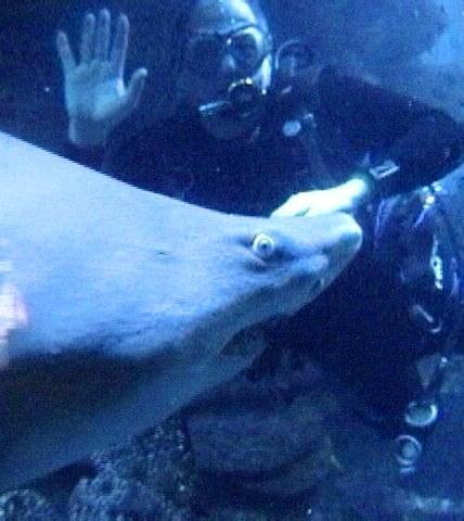 Nosey Sand Tiger - New England Aquarium