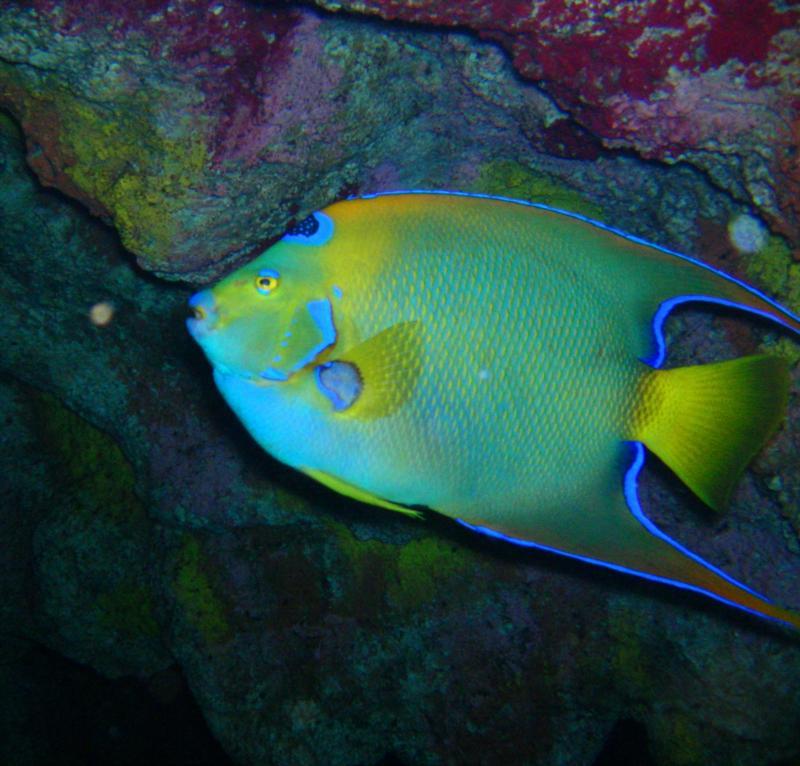 Queen Anglefish2 - New England Aquarium