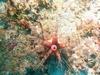 Rare caribbean Critter ( Rare sea urchin )
