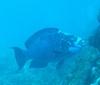 Huge Blue Parrott Fish