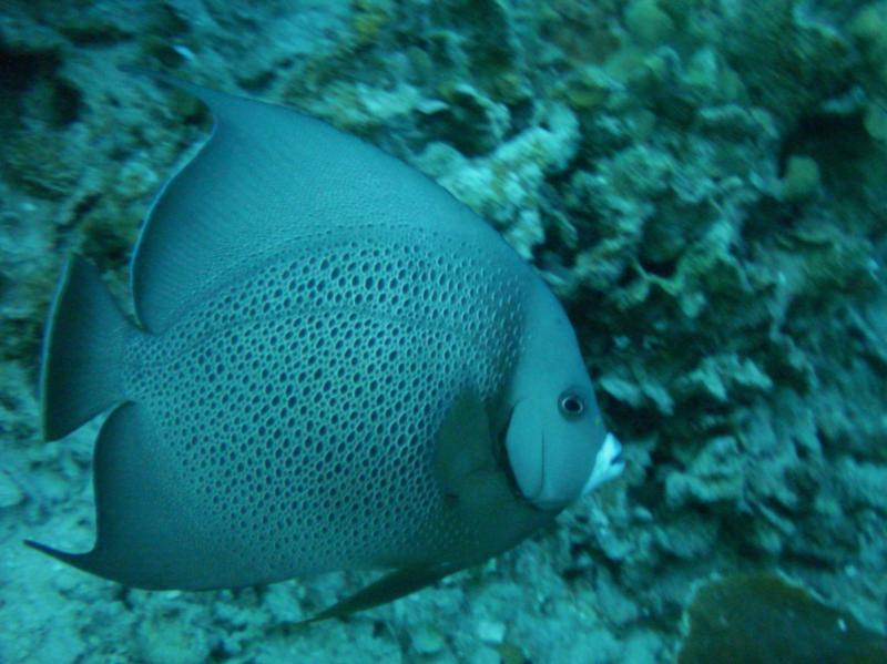 Grey Angelfish (Roatan, Honduras)